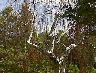 Graceful Tree