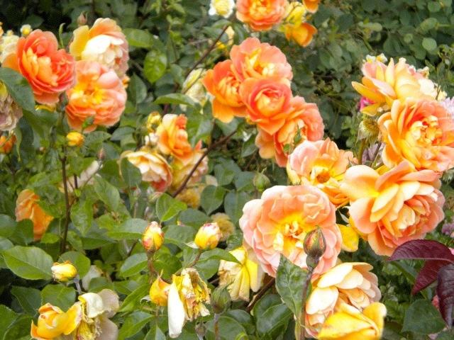Hyde Park Roses